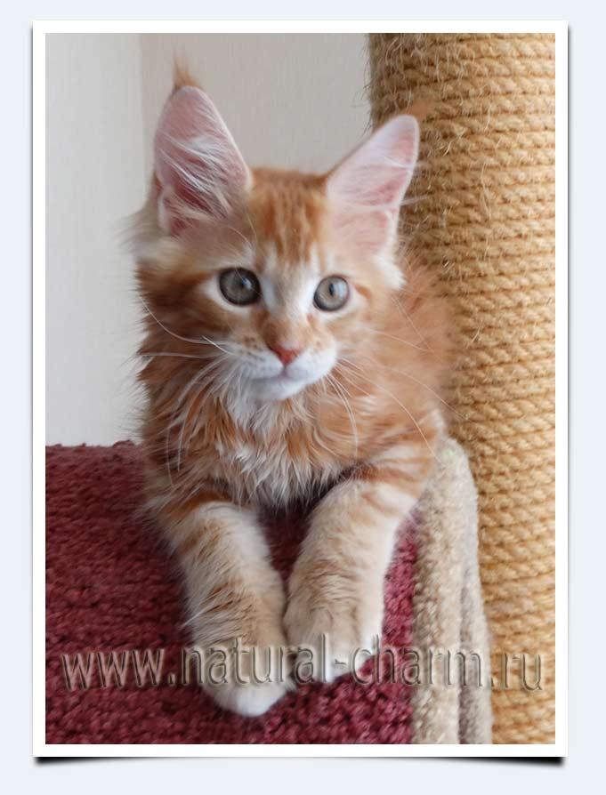 мейн кун котята 3 месяца фото