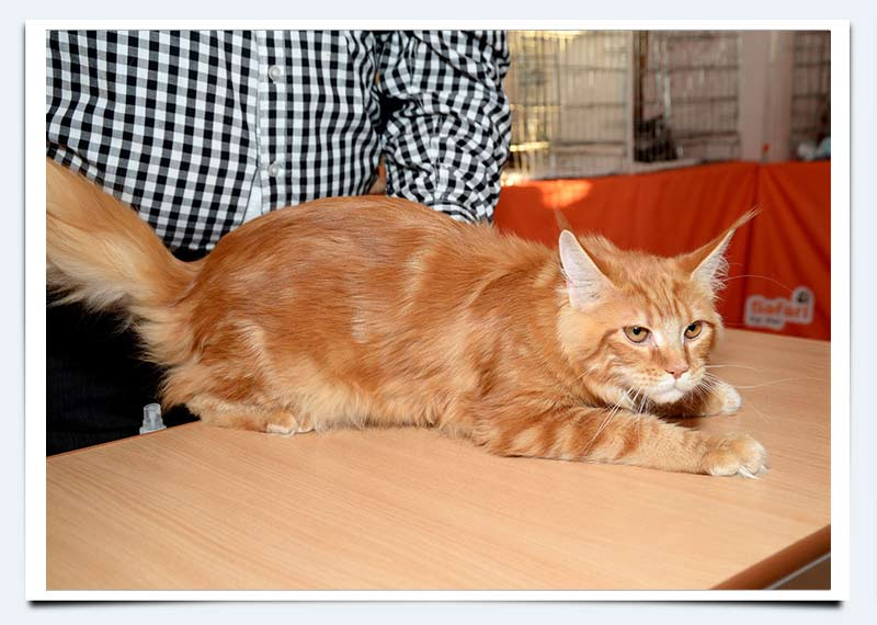 Котята мейн кун саратов